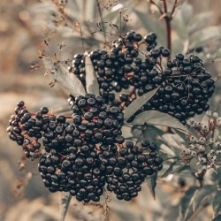 Elderberry concentrate TFA - The Flavor Apprentice
